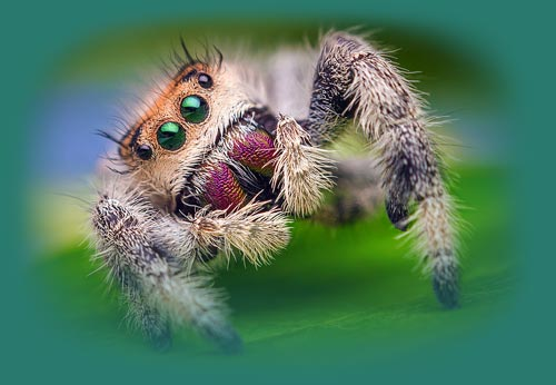 Jumping Spiders As Pet Jumping Spider Care Sheet Exopetguides