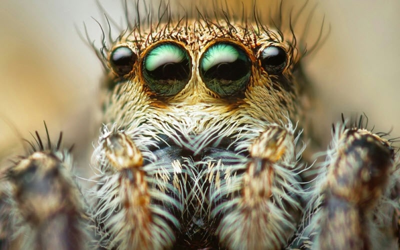 What Do Jumping Spiders Look Like Jumping Spider Facts And