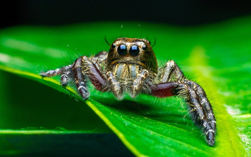 Cute Jumping Spider - ExoPetGuides.com
