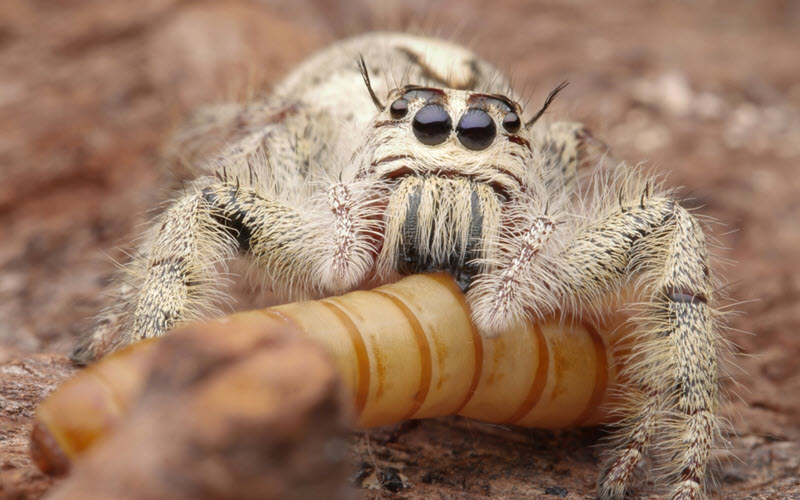 Jumping Spider eating Mealworm - exopetguides.com