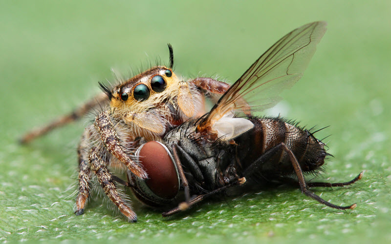 Jumping Spider eating a fly - exopetguides.com