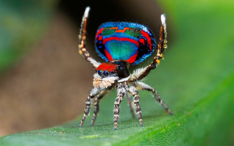 Peacock Jumping Spider - ExoPetGuides.com