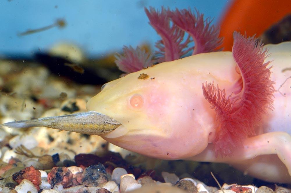 what do axolotls eat the ultimate axolotl gourmet guide