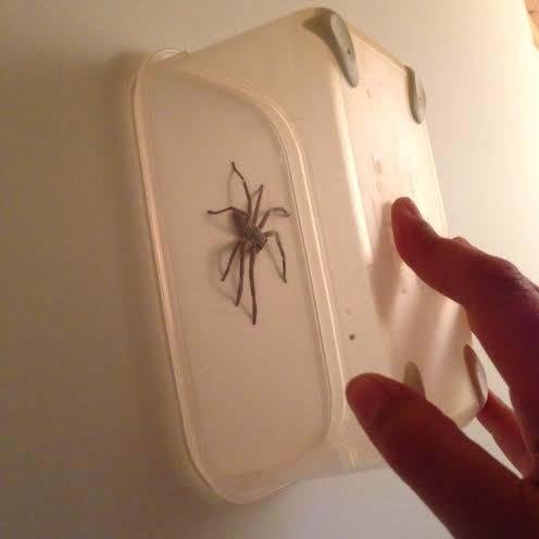 catch spider safely