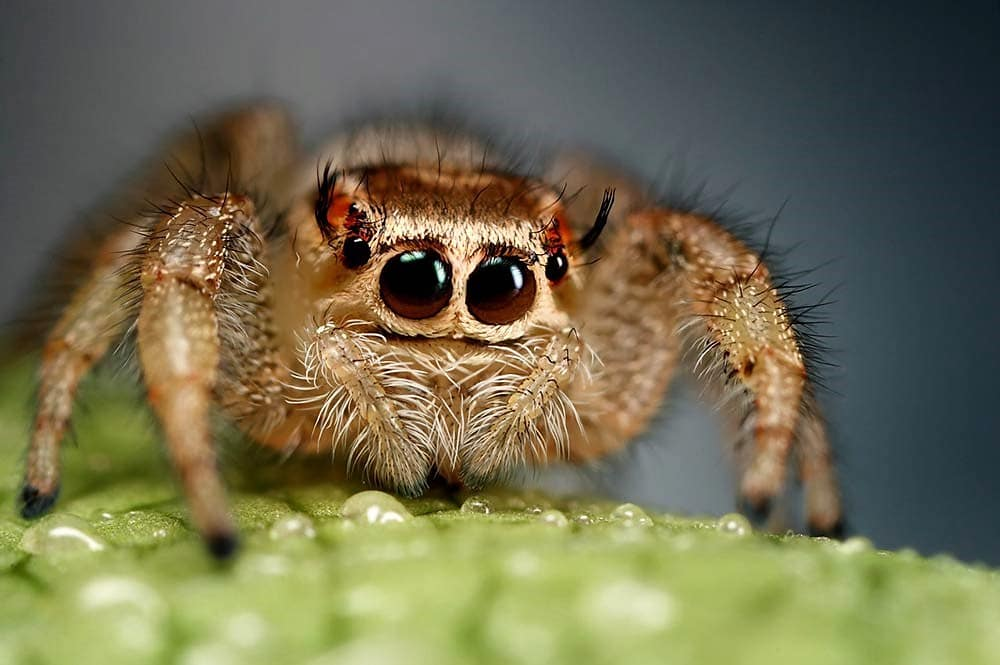 Are jumping spiders friendly? Are their bite harmful and