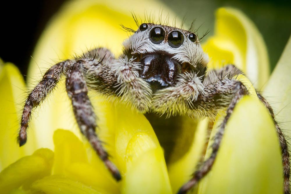 Where do jumping spiders live? How to find and catch them
