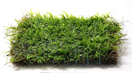 java moss used for aquascaping
