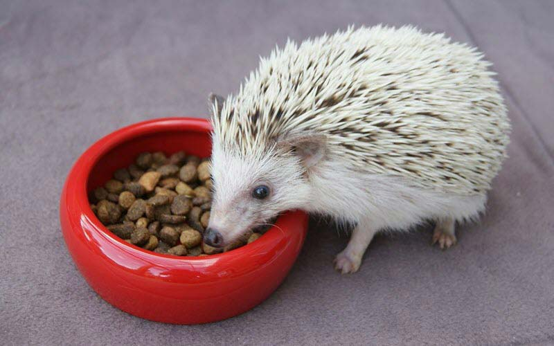 What Do Hedgehogs Eat As Pets 2019 Hedgehog Food Amp Diet