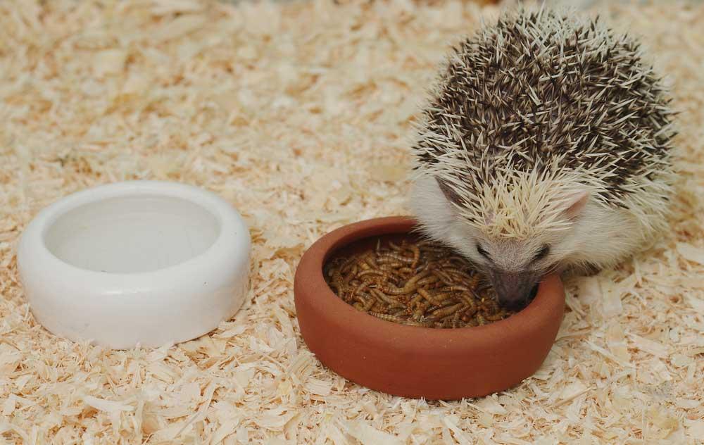 Hedgehog Pet Price >> What Do Hedgehogs Eat As Pets 2019 Hedgehog Food Diet Guide