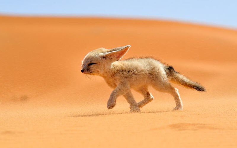 Fennec Fox from North Africa - ExoPetGuides.com
