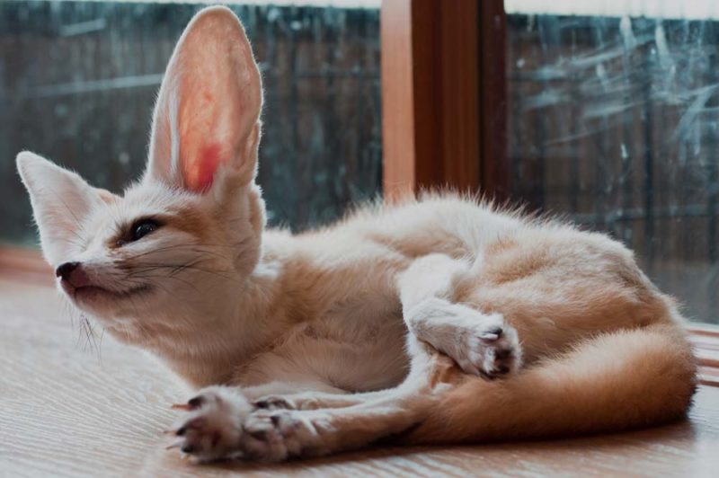 Fennec Fox Facts Habitat And Their Lifespan Exopetguides