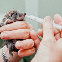 Calm & tame pet hedgehogs in 5 secs (Learn how to hold hedgehog)