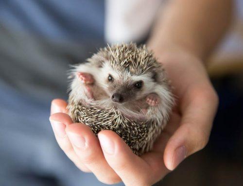 How Long Do Hedgehogs Sleep Where Do They Sleep Exopetguides