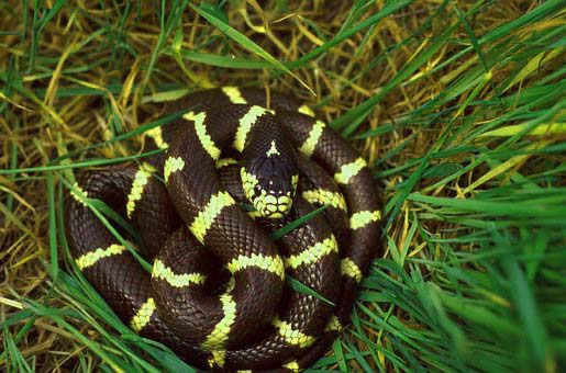 17 Types Of Black And Yellow Snakes With Stripes In The World Exopetguides