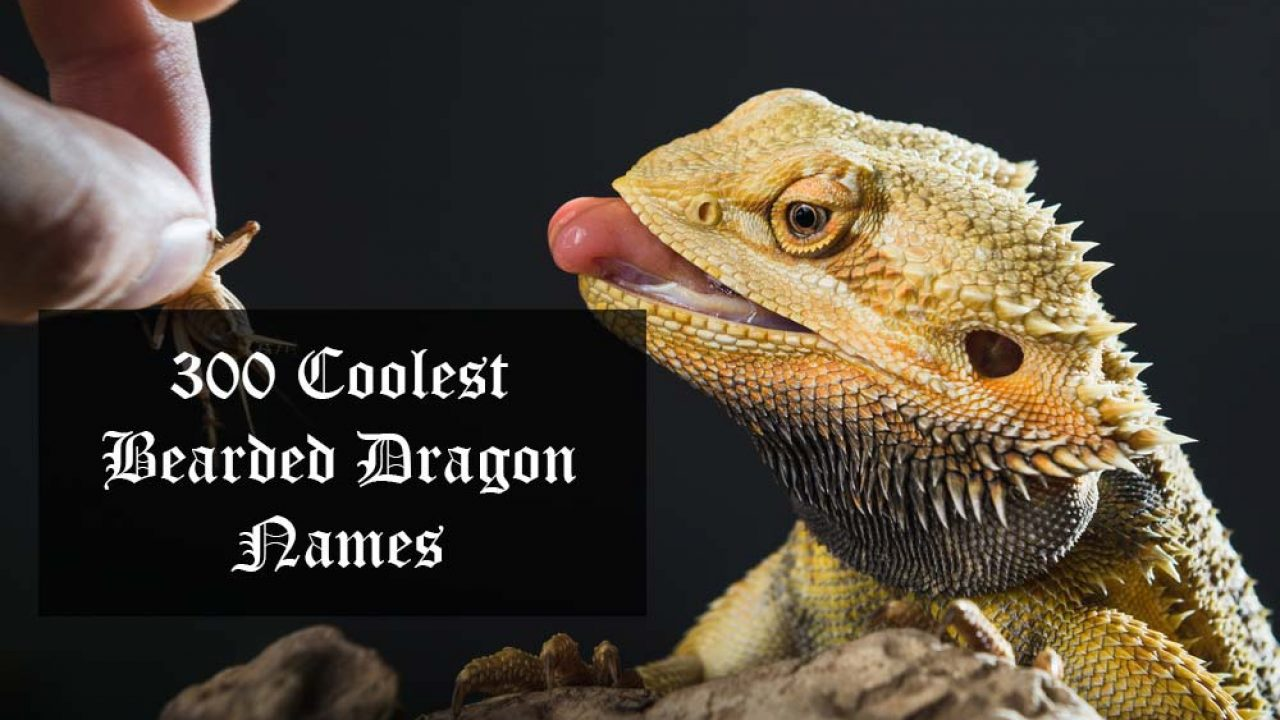 Golden bearded dragon pet names hubei steroids