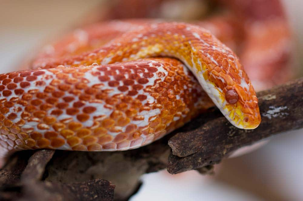 24 Beautiful Corn Snake Morphs, Colors and Prices (With