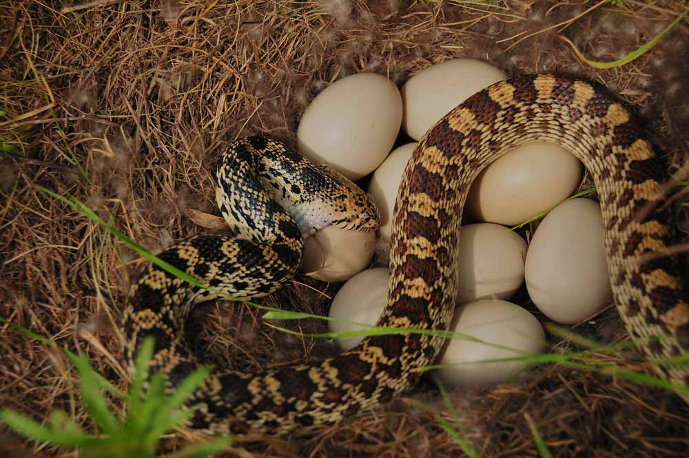 9 Truths About The Egg Eating Snake As Pets Are They Good Pets