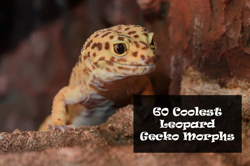 60 Coolest Types of Leopard Gecko Morphs and Colors You can Own