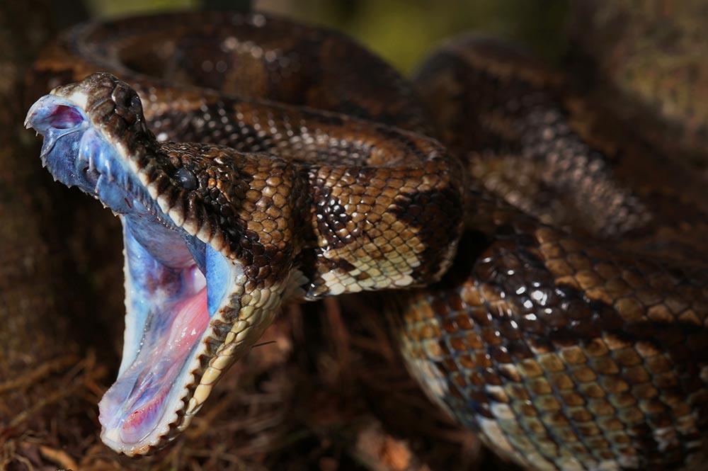 garter snake   Flickr - Photo Sharing!   Garter Snake Teeth