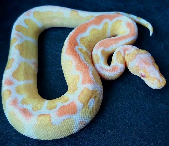 13 Albino Ball Python Morphs Breeding Genetics Uncovered Exopetguides