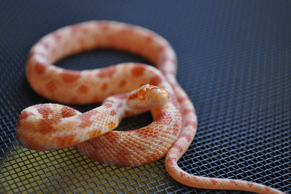 What Is An Albino Corn Snake Albino Corn Snake Breeding Exopetguides