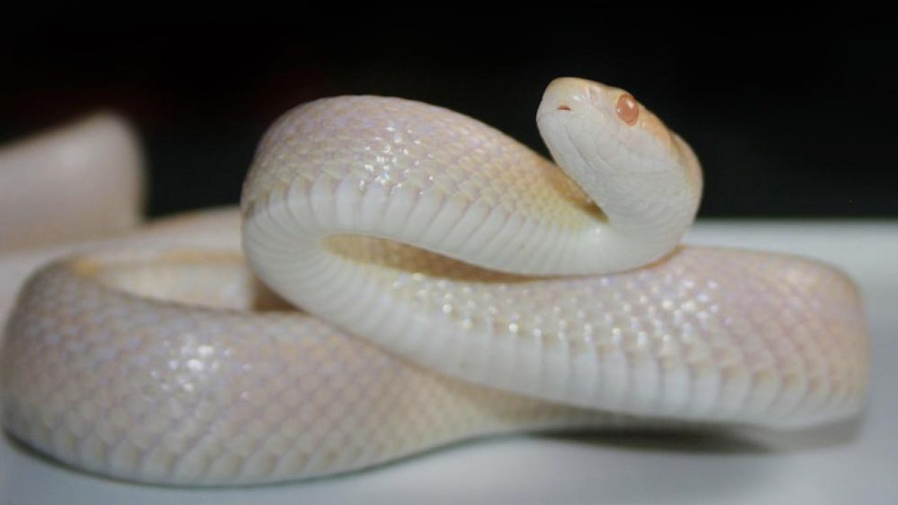 Snow Corn Snake Genetics And Complete Breeding Guide Exopetguides
