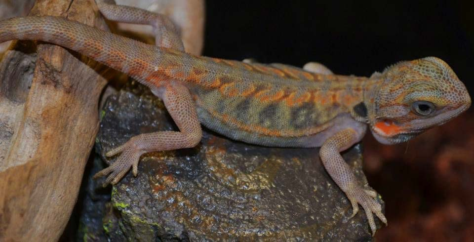 20 Bearded Dragon Morphs and Color Types (Common to Rarest