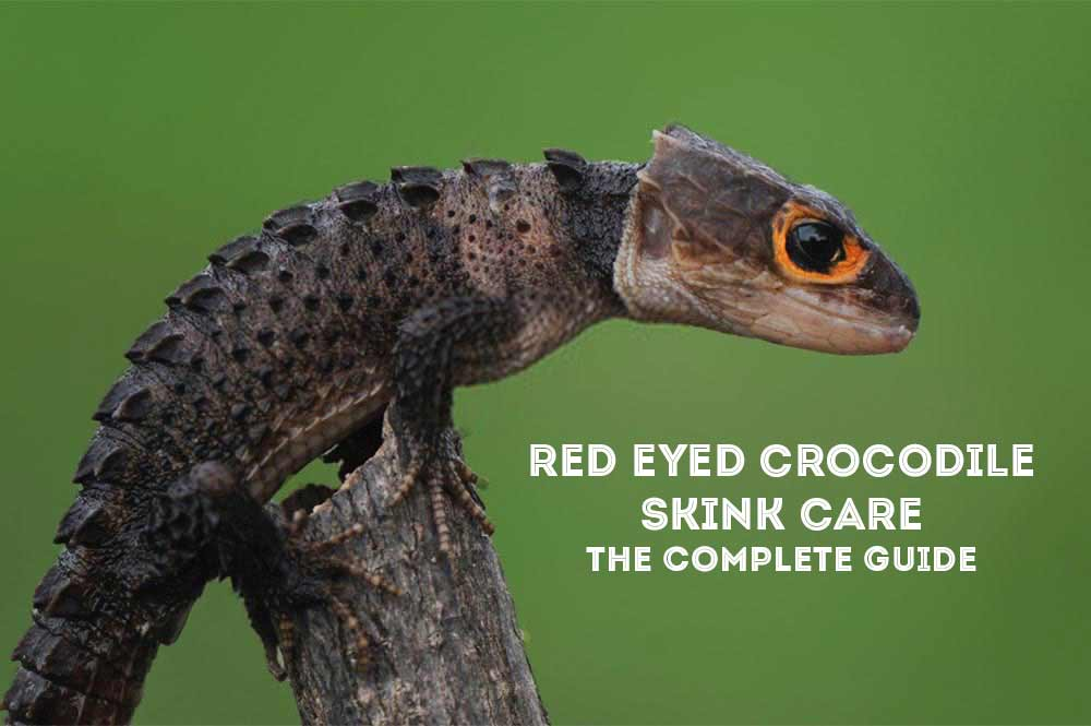Red Eyed Crocodile Skink Care Crocodile Skink As Pets Exopetguides