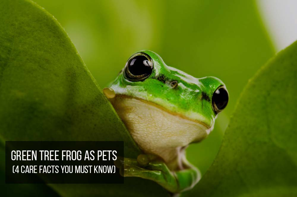 American Green Tree Frog as Pets (4 Care Facts You Must ...