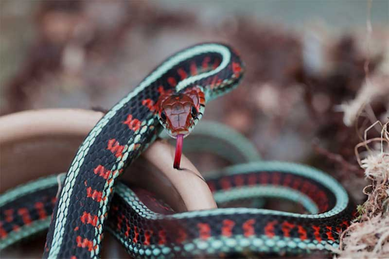 California red-sided garter snake close up
