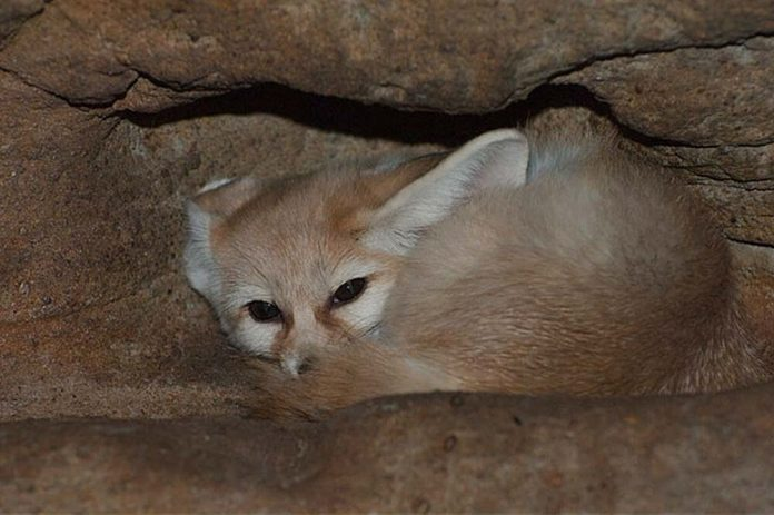 fennec fox hiding